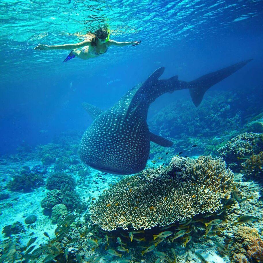 Whale-Shark-Scuba-Diving-Malaysia-Kota-Kinabalu-913x1024